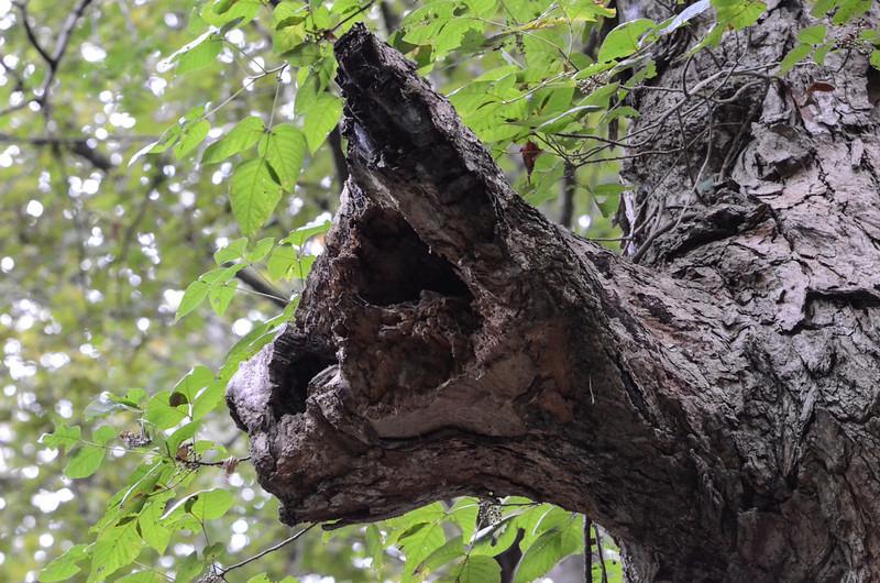 Panther Tree