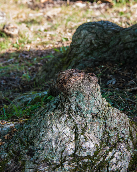 Fat Toad Tree