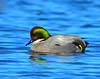 Falcated Duck
