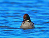 Falcated Duck 12:13:1213 _pp
