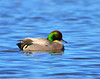 Falcated Duck 12:13:1205 _pp