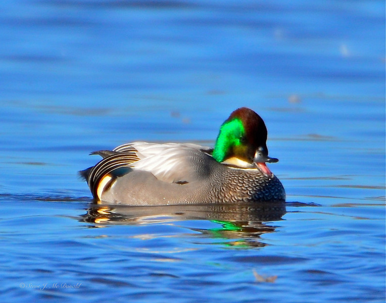 Falcated Duck 12:13:1201 _pp