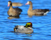 Falcated Duck 12:13:1217 _pp