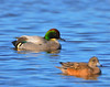 Falcated Duck 12:13:1204 _pp