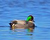 Falcated Duck 12:13:1203 _pp