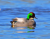 Falcated Duck 12:13:1202 _pp