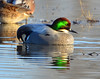 Falcated Duck Jan 2012-05 _pp