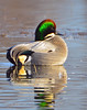 Falcated Duck Jan 2012-02 _pp