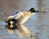 Falcated Duck Jan 2012-03 _pp
