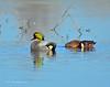 Falcated Duck Jan 2012-21 _pp