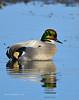 Falcated Duck Jan 2012-16 _pp