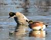 Falcated Duck Jan 2012-10 _pp