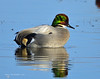 Falcated Duck Jan 2012-17 _pp