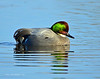 Falcated Duck Jan 2012-15 _pp
