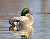 Falcated Duck Jan 2012-01 _pp