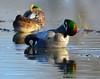 Falcated Duck Jan 2012-06 _pp