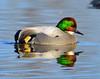 Falcated Duck Jan 2012-19 _pp