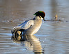 Falcated Duck Jan 2012-04 _pp