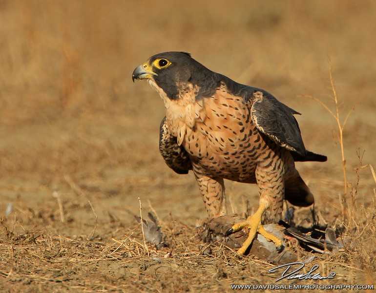 Peregrine falcon with mourning dove
