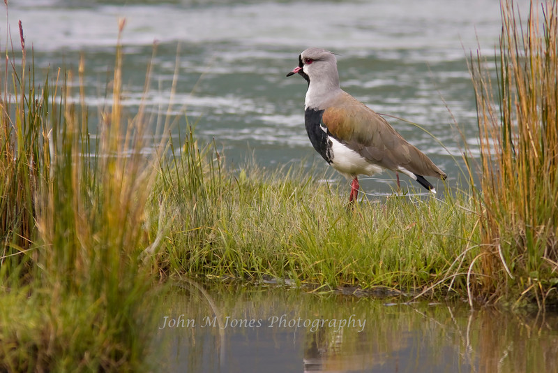Southern Lapwing, Tierra del Fuego National Park