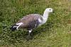 Upland Goose, Tierra del Fuego National Park
