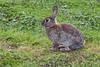 European Rabbit, Tierra del Fuego National Park