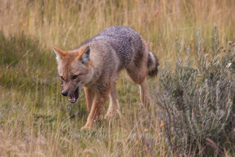 Fueguian Fox, Tierra del Fuego National Park