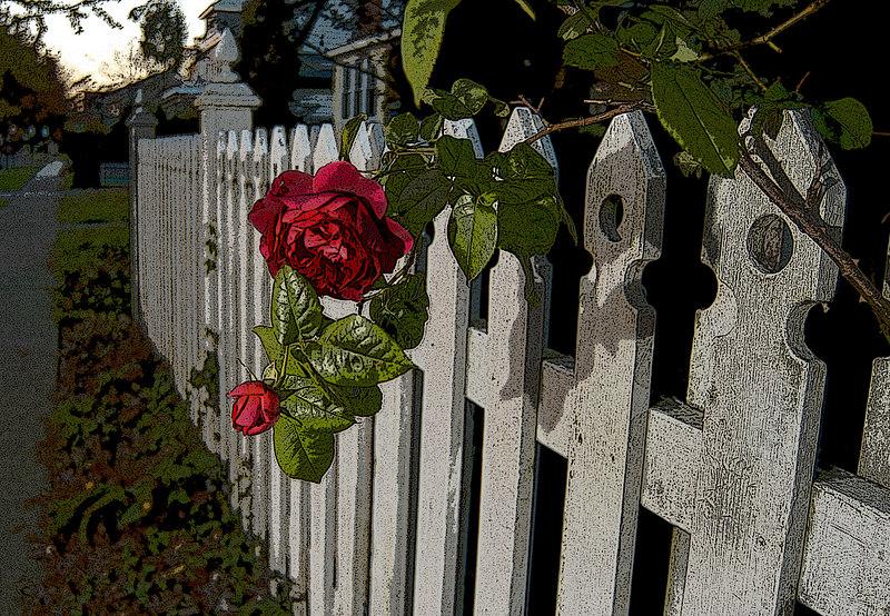 Last Rose of Fall, Marion Street, Lynbrook, NY