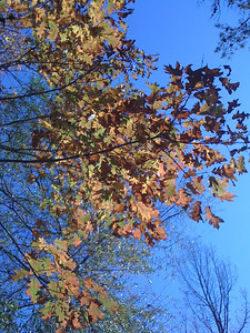I especially love the oak leaves against the Carolina Blue skies!