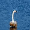 Trumpter Swans - Crex Meadows WI