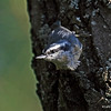 Reb Breasted Nuthatch - Wisconsin