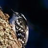 Downy Woodpecker- Wisconsin