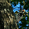 Hairy Woodpecker - Wi