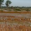 Sanhill Cranes - Crex Meadows