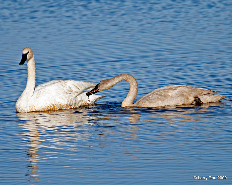 Trumpter Swans - Crex Meadows WI