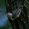 White Breasted Nuthatch at last light for the day, NW Wisconsin