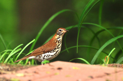Per my friend Mr. Kennedy this is a Wood Thrush. These are deep woods birds that usually don't come near humans. We think he/she came to visit for two reasons...  the food and because I'm always with my camera so they are used to it :D