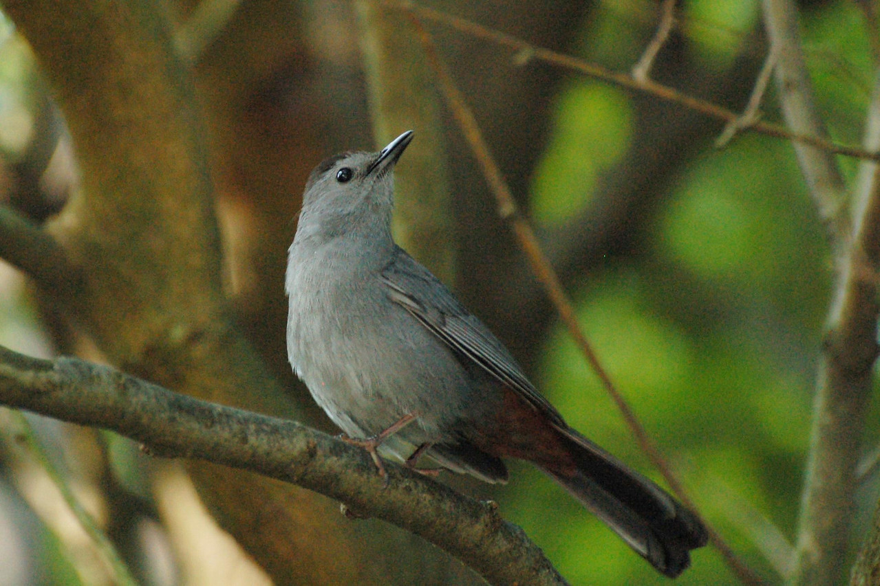 Thanks to Donna I now know this is a Gray Catbird!!! If you're convinced you'll never be able to learn bird calls, start with the Gray Catbird. Once you've heard its catty mew you won't forget it. Follow the sound into thickets and vine tangles and you'll be rewarded by a somber gray bird with a black cap and bright rusty feathers under the tail. Gray Catbirds are relatives of mockingbirds and thrashers, and they share that group's vocal abilities, copying the sounds of other species and stringing them together to make their own song.