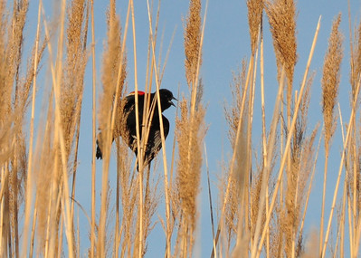 Red Winged Blackbird at the Indian River...