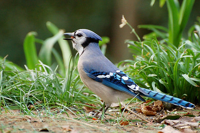 Blue Jay - This common, large songbird is familiar to many people, with its perky crest; blue, white, and black plumage; and noisy calls. Blue Jays are known for their intelligence and complex social systems with tight family bonds. Their fondness for acorns is credited with helping spread oak trees after the last glacial period.