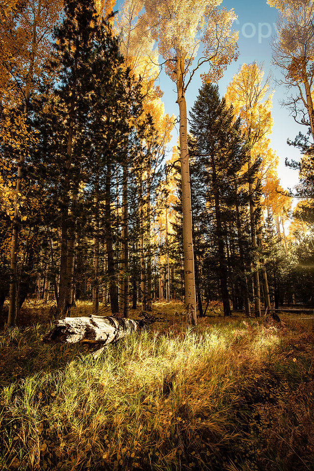 Sun Setting-Aspens and Pines
