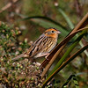 LeConte's Sparrow at Harrier Marsh near my house