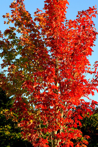 Autumn changes here in Oregon..<br /> Eye popping color!.