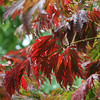 The Japanese maple was dripping wet today with almost an inch of rain.<br /> The color is sure intense still.