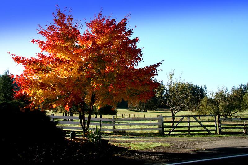 Beautiful fall colored maple.