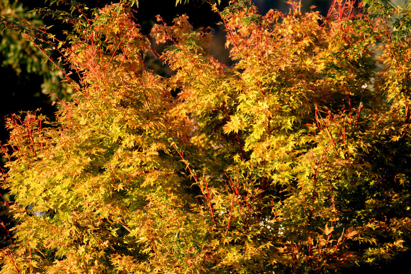 Golden maple shining in the late afternoon sun..