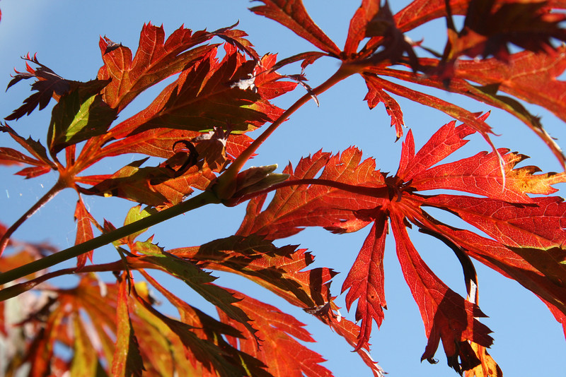 The sun was shining through the changing Japanese maple giving me an up close personal view of its leaf structure.