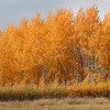 Fall color in the Teton's near the entrance to Yellowstone National Park