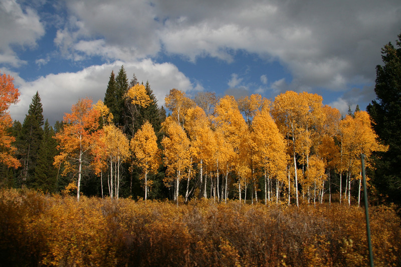 The aspens quiver with a small breeze in early October in Yellowstone National Park
