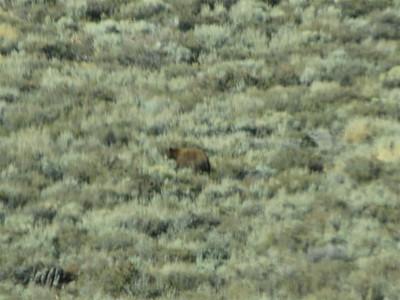 A bear near Leviathan Peak